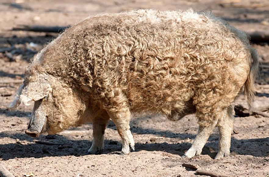 Свинья породы Венгерская Мангалица
